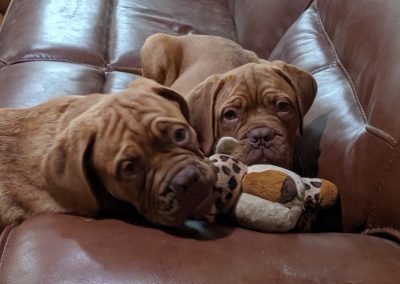 Dogue De Bordeaux baby puppies on couch