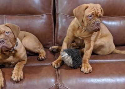 Dogue De Bordeaux puppies on couch