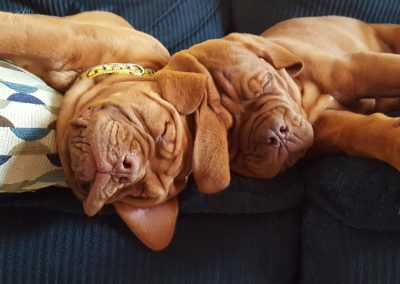 Dogue de Bordeaux Puppies sleeping