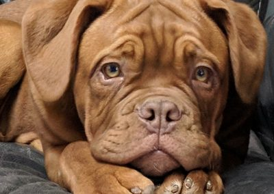 Dogue de Bordeaux Puppy close up