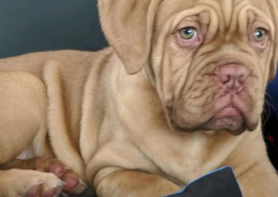 Dogue de Bordeaux Puppy close up on chair