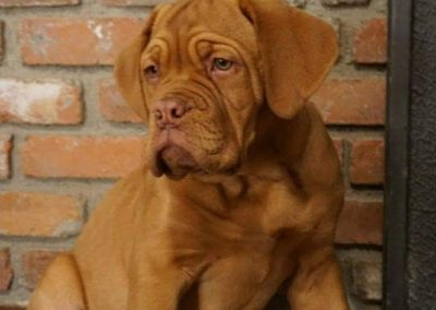 Dogue de Bordeaux Puppy on porch